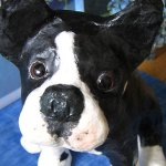 Boston Terrier by Pat Little